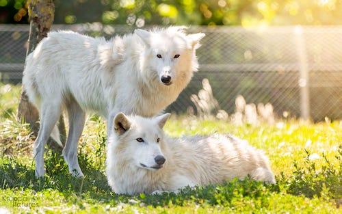 Wolfserlebnis